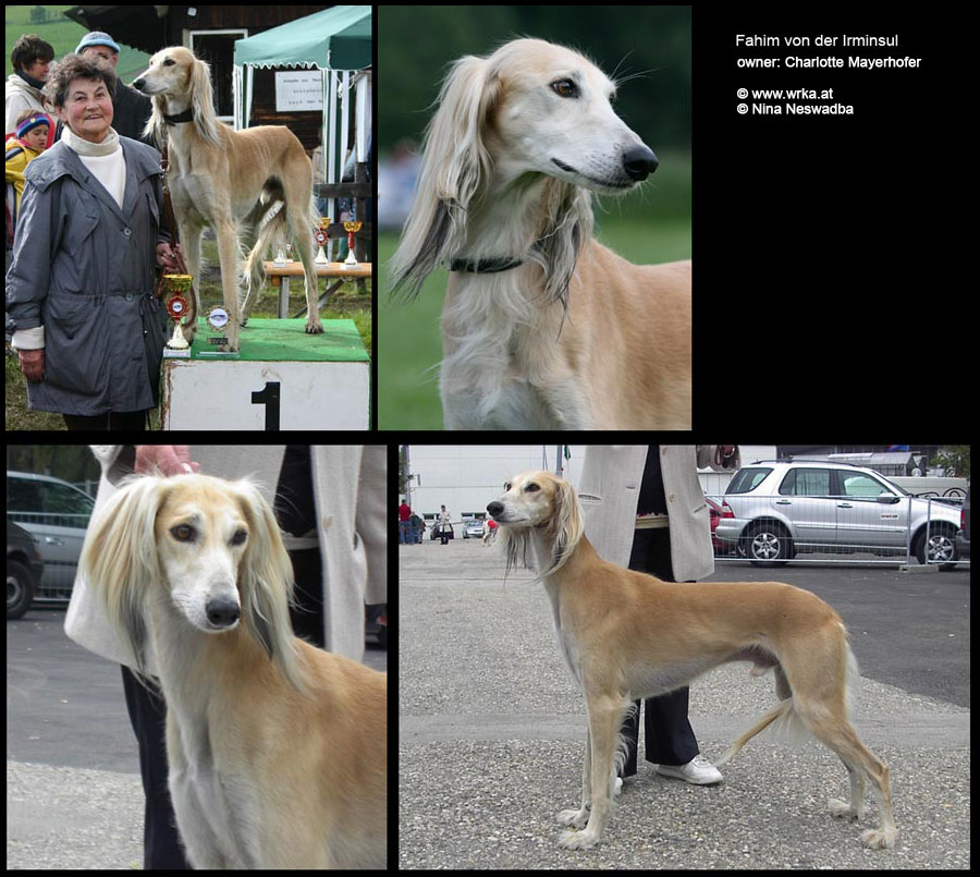 H-litter Saluki of Falconers Dream